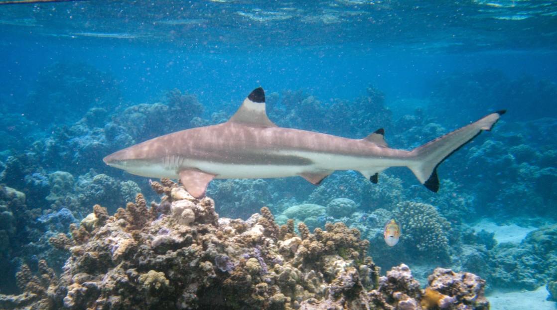Schwarzspitzen Riffhai vor den Malediven